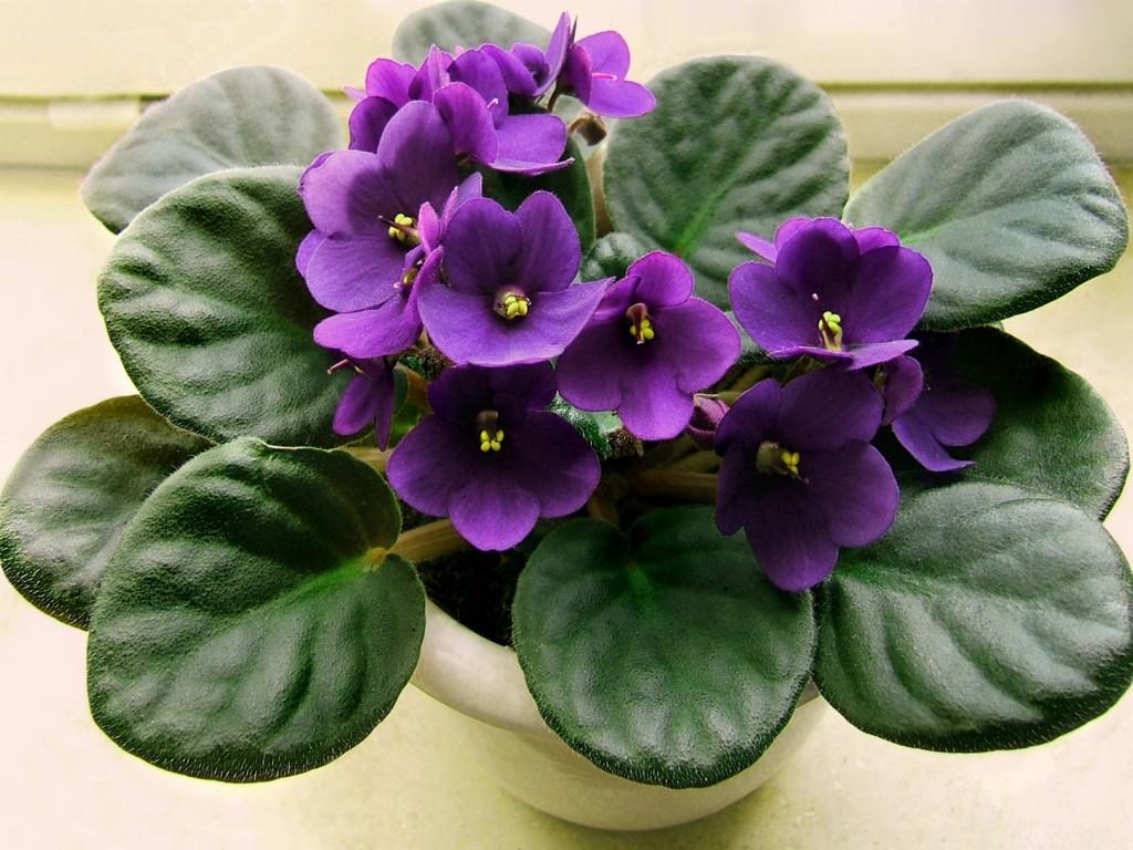 1388997272_Saintpaulia species flower