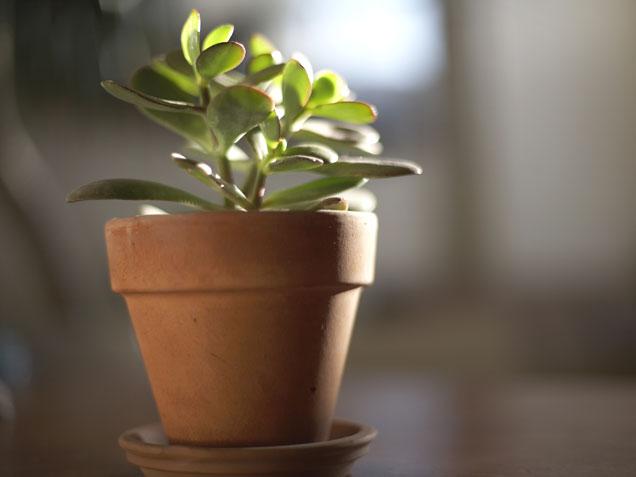 2D274905752833-Jade-Plant