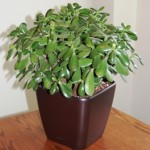 Jade-table-top-plant-in-Lechuza-Quadro-container