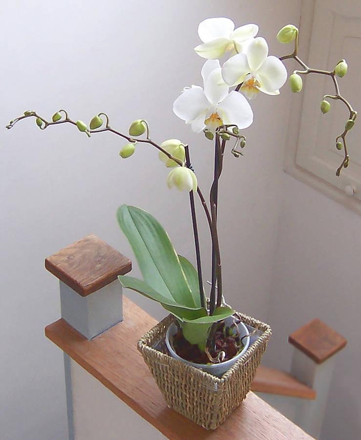 original_moth-orchid
