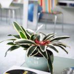 Бромелієві рослини